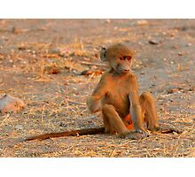 Young baboon - Sunset in Chobe National Park, Botswana Photographic Print