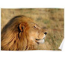 Lion at sunset - Etosha National Park, Namibia Poster