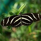 Zebra Longwing Butterfly by Michele Markley