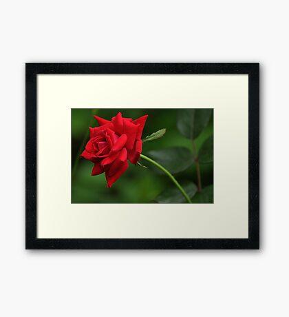 Knockout rose bloom Framed Print