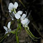 Diuris fragrantissima Sunshine Diuris by Christopher Clarke