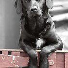 Black Labrador at the Gate, Portmahomack, Scotland, UK, Europe by simpsonvisuals
