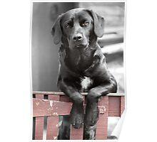 Black Labrador at the Gate, Portmahomack, Scotland, UK, Europe Poster