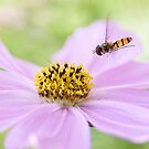Cosmos and hoverfly by Mandy Disher