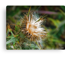 Going To Seed Canvas Print