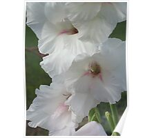 White Glads - Heavenly Beauty Poster