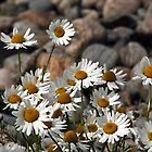 Big Daisies by the Sea - Scourie Bay Scotland by simpsonvisuals