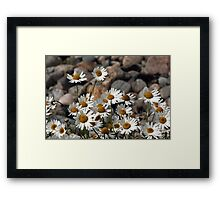 Big Daisies by the Sea - Scourie Bay Scotland Framed Print