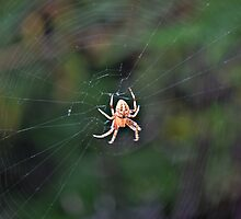 Spider in Web by Jackson Killion