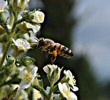 Bee on Flower 2 by Jackson Killion
