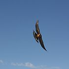 Dive Bombing Barn Swallow by lar3ry