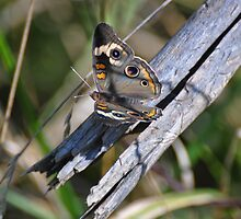 Common buckeye  by mltrue