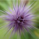 Thistle star by Photos - Pauline Wherrell