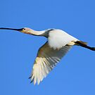 Eurasian Spoonbill in Flight by DutchLumix
