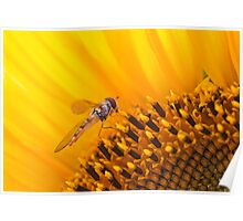 Hover fly on a Sunflower Poster