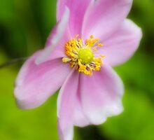 Pretty Pink Japanese Anemone by missmoneypenny