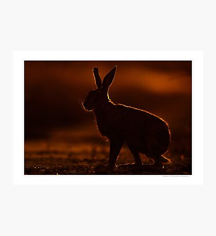 Brown Hare at Dusk Photographic Print