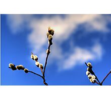 Catkins Photographic Print