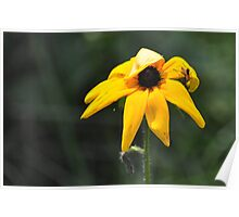 Unknown bug on black eyed susan Poster