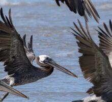 Brown Pelicans Take Flight Sticker
