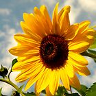 Big, Bright Sunflower, After the Storm by kelleygirl