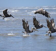 Brown Pelicans Take Flight 2 by Debra Martz