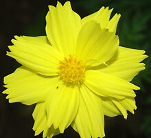 Yellow Cosmos by Rainy