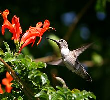 Hummers Love Honeysuckle by DARRIN ALDRIDGE