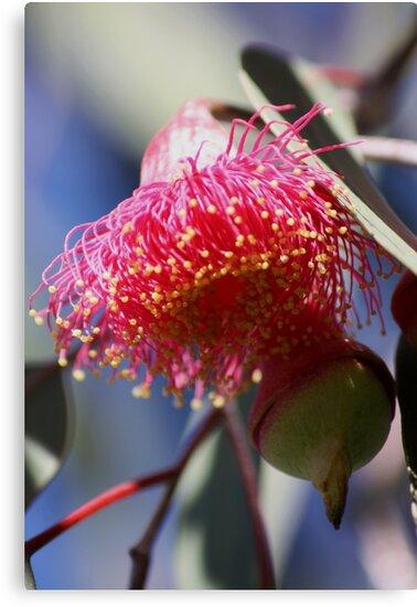Gumnut Magic (Eucalyptus Blossom) by Karen E Camilleri