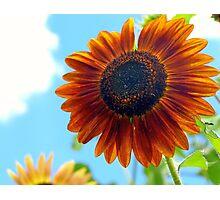 Autumn Burst Sunflower Photographic Print