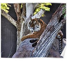 Tiger on a rock  Poster