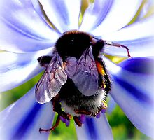 Bumblebee on Agapantus by ©The Creative  Minds