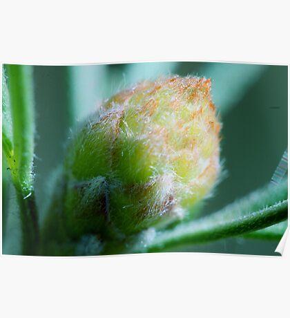 Grevillea crithmifolia  Poster