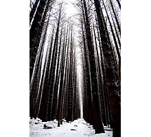 Sugar Pines Photographic Print