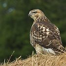 RedTail Hawk by Wayne Wood