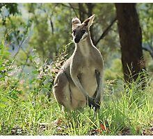 Whiptail Wallaby Photographic Print