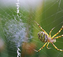 Spider at work by Régis Charpentier