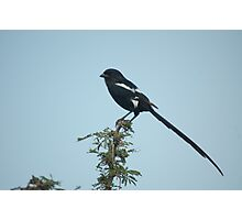 African Long-tailed Shrike Photographic Print