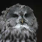 The Great Grey Owl by JohnBuchanan