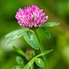 Red Clover by M.S. Photography/Art