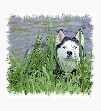 Skye- Blue Husky Photographic Print