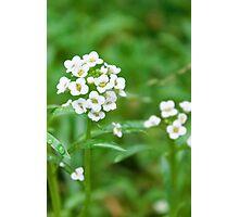 Alyssum tiny white flowers Photographic Print