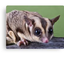 Sugar Glider Canvas Print