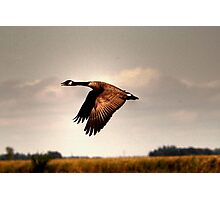 Goose in Flight Photographic Print