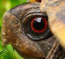 Box Turtle Macro  by hallucingenic