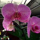 Phalaenopsis -The Moth Orchid by Larry Trupp
