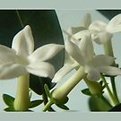 jasmine flowers by LisaBeth