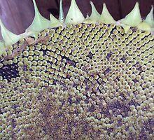 Sunflower by jdenig