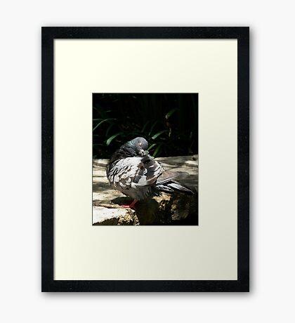 Sleeping Pigeon Framed Print