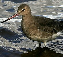 The Black Tailed Godwit by snapdecisions